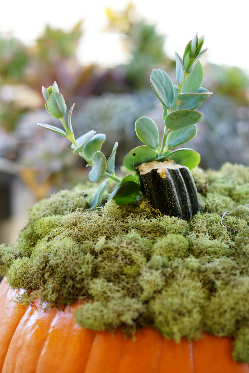 DIY Home Decor Tutorial - How To Make a Pumpkin Succulent Centerpiece