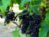 The Deluxe Central Coast Vacation Giveaway - Folktale Winery Grapevine