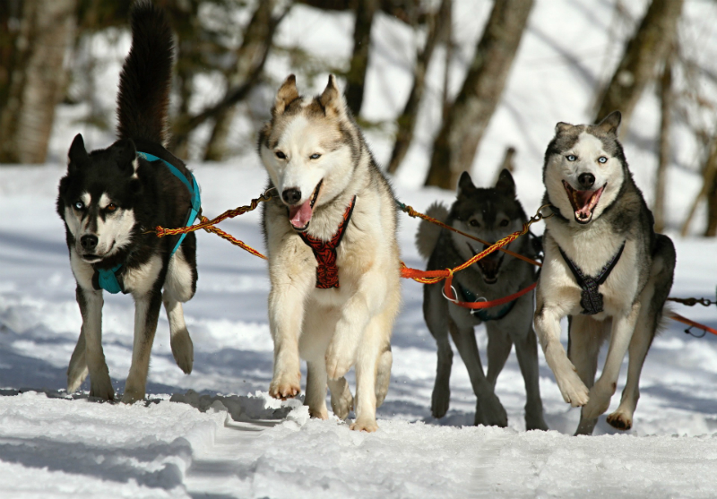 10 Festive Things To Do During The Holidays - Dog Sledding